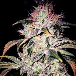 Veteran Sativa - Semillas de marihuana regulares - Legacy Line