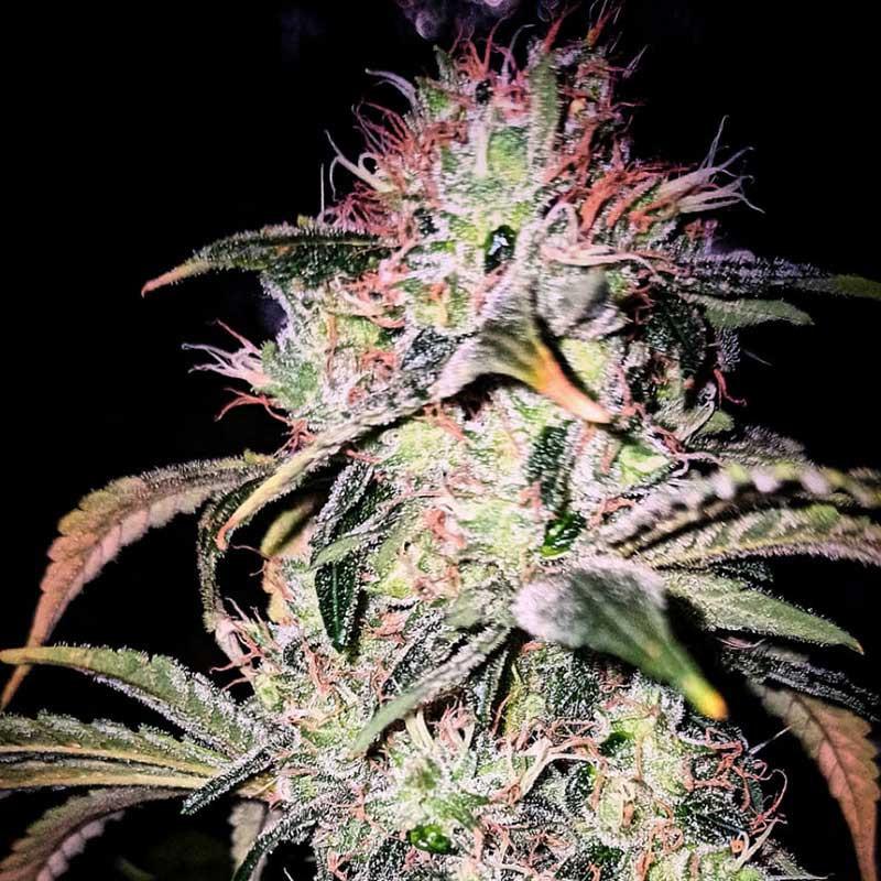Veteran Sativa - Graines de cannabis régulières - Legacy Line