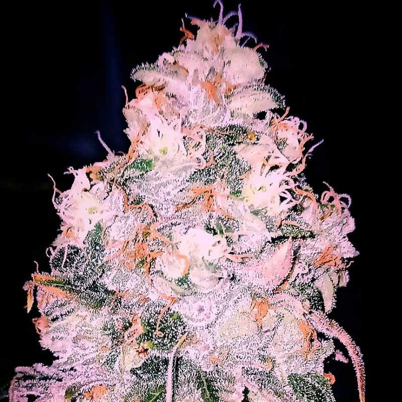 Bubba Haze - Regulären Cannabissamen - Legacy Line