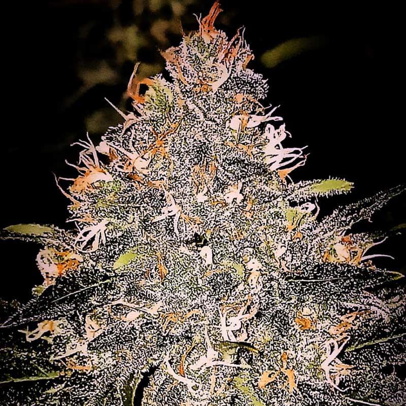 Pineapple Bubblegum - Regular Cannabis Seeds - Bubble Line