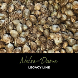 Notre-Dame - Regular Cannabis Seeds - Legacy Line