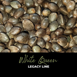 White Queen - Regular Cannabis Seeds - Legacy Line