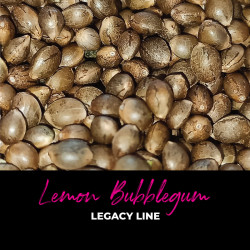 Lemon BubbleGum - Semi di cannabis regolari - Bubble Line