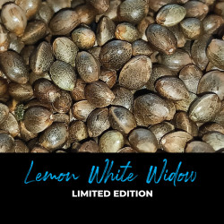 Lemon White Widow - Regulären Cannabissamen - Limited Edition