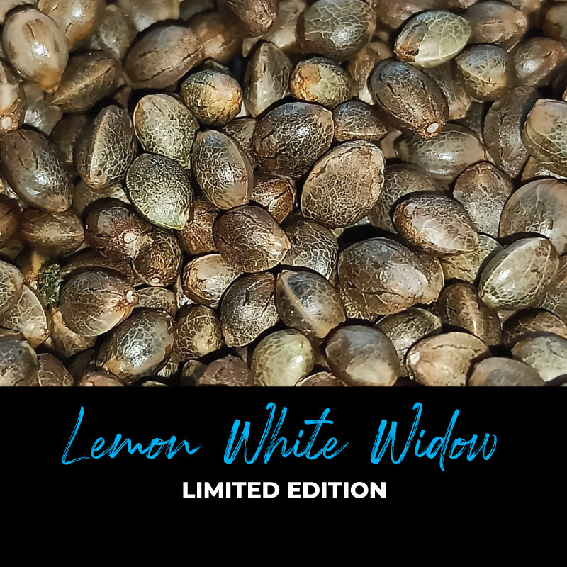 Lemon White Widow - Regular Cannabis Seeds - Limited Edition