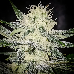 Agent Lemon - Regular Cannabis Seeds - Legacy Line