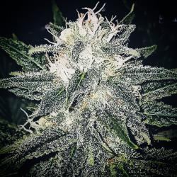 Banana Bubblegum - Graines de cannabis régulières - Bubble Line